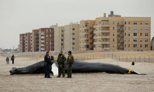 Dead whale washes ashore in NYC