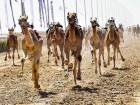 Female camels upstage male rivals