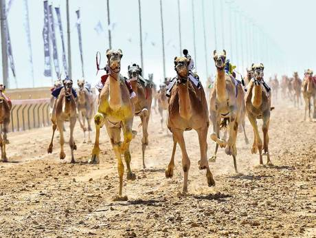 Local camels continue trophy sweep gulfnews camels charging towards the finish line during the al marmoum heritage festival at the dubai camel racing clubimage credit virendra saklanigulf news thecheapjerseys Image collections