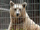 A bear that bit off the forearm of a nine-year old Palestinian boy who tried to feed it, sits in its cage at a zoo in the West Bank town of Qalqilya.