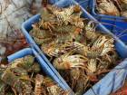 Fishermen cash in on lobster season
