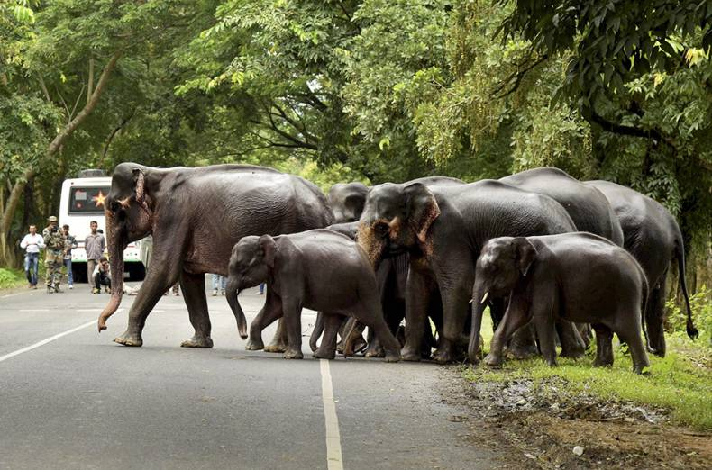 people-look-on-as-a-herd-of-wild-elephants-crosses-a-road-near-the-flood-affected-kaziranga-national