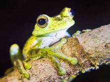 Frog threatened by extinction sold for $600