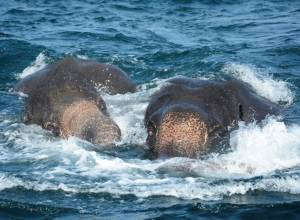 Watch: Elephants washed out to sea rescued