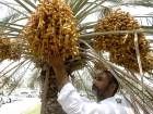 A resident plucks the season's first Dates at a palm tree near Muroor street in Abu Dhabi.