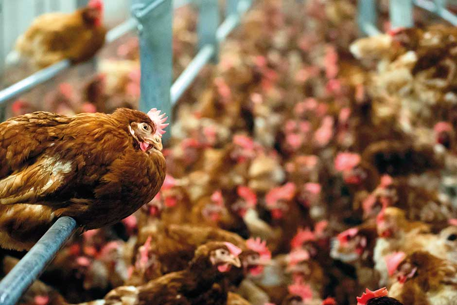 Hens in a the poultry farm.