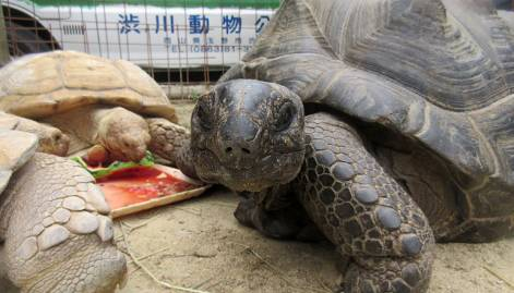 Giant turtle that fled Japan zoo found