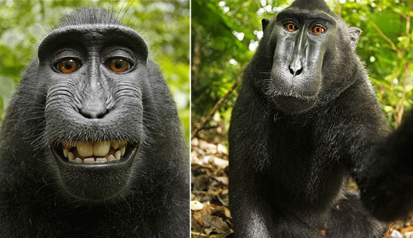 The selfie taken by a crested black macaque using David Slater's camera.