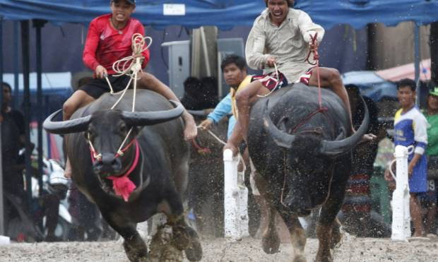 Water buffalo race gets underway in Thailand