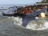 Pictures: 6 beached whales rescued in Indonesia