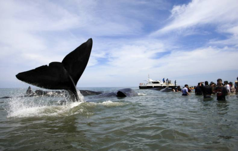 copy-of-indonesia-beached-whales-47107-jpg-72c6a