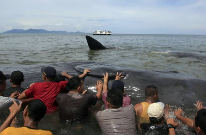 copy-of-indonesia-beached-whales-97553-jpg-7fb74
