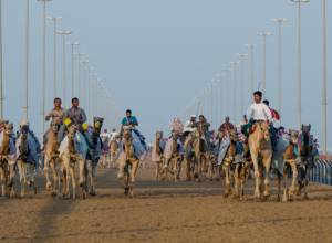 A blur of camels at Al Marmoum