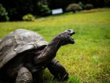 St. Helena's ancient tortoise awaits visitors