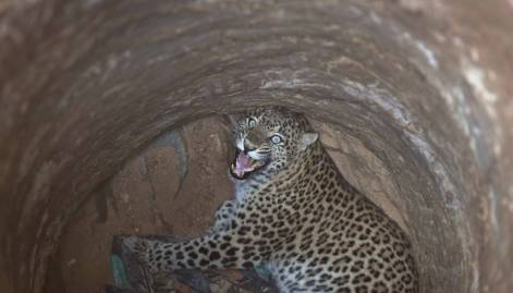 Pictures: Leopard rescued from a well