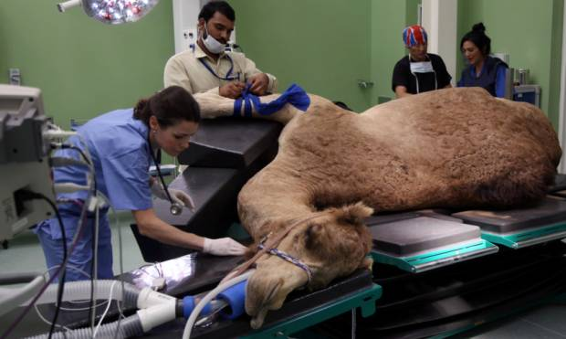 Sneak peek: Dubai's new Dh40m camel hospital
