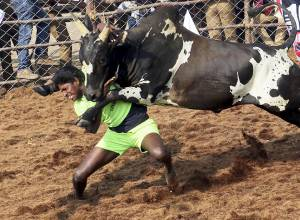 Jallikattu: An art of taming the raging bulls