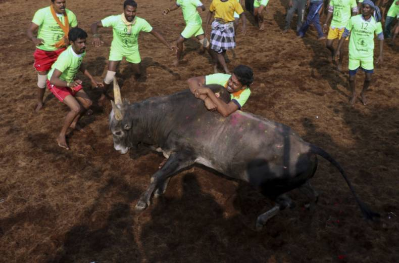 copy-of-india-bull-taming-festival-83625-jpg-0524c