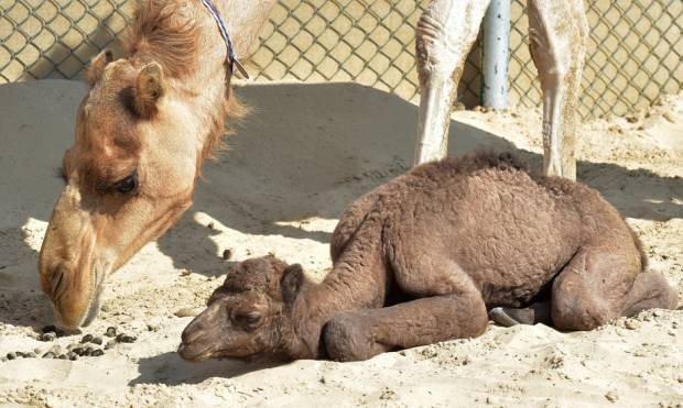Meet world's first artificially conceived camel