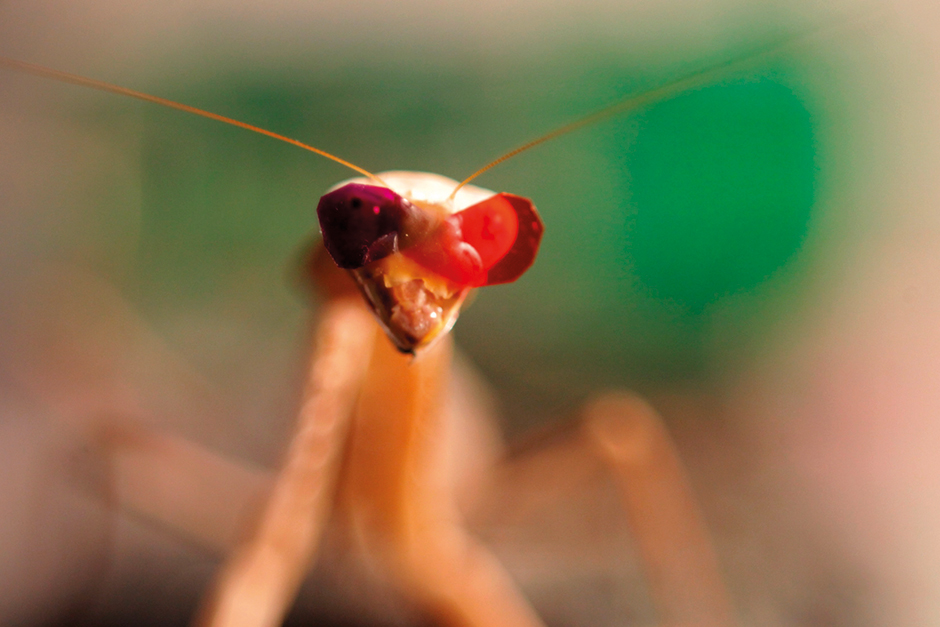 A praying mantis fitted with miniature 3D glasses.