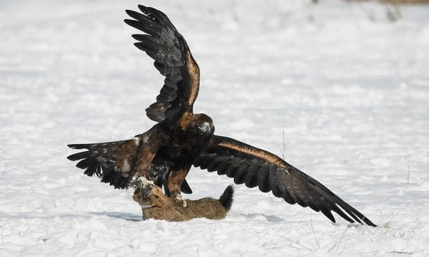 Hunting with golden eagles in Kazakh steppe