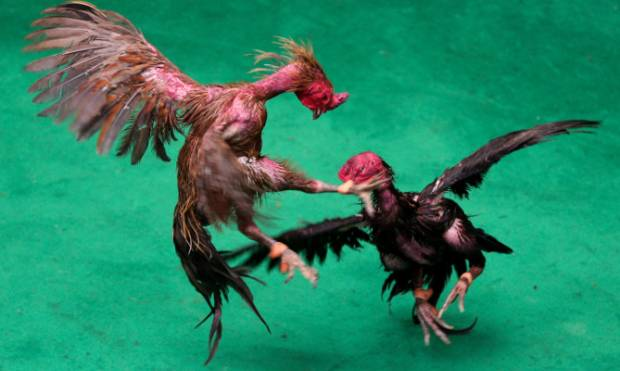 High stakes cockfighting in Thailand
