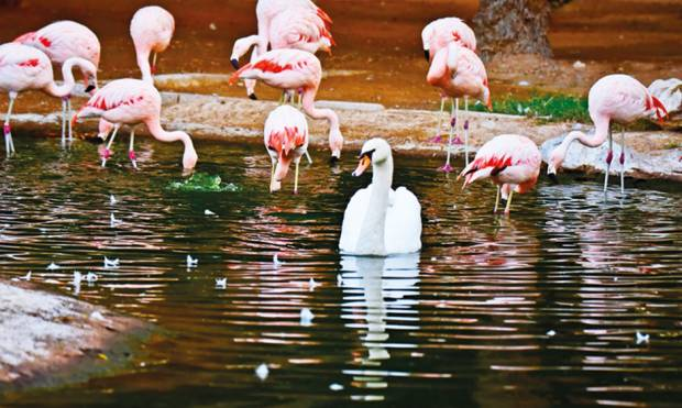 See flamingos in Al Ain Zoo