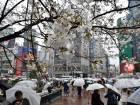 Cherry blossoms in Tokyo.