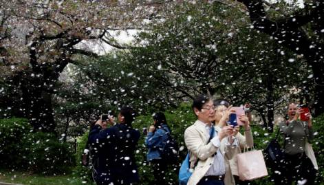 Japan's cherry blossom season kicks off