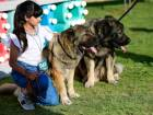 Caucasian Shepherds at the First Sharjah National Pure Breed Dog Show