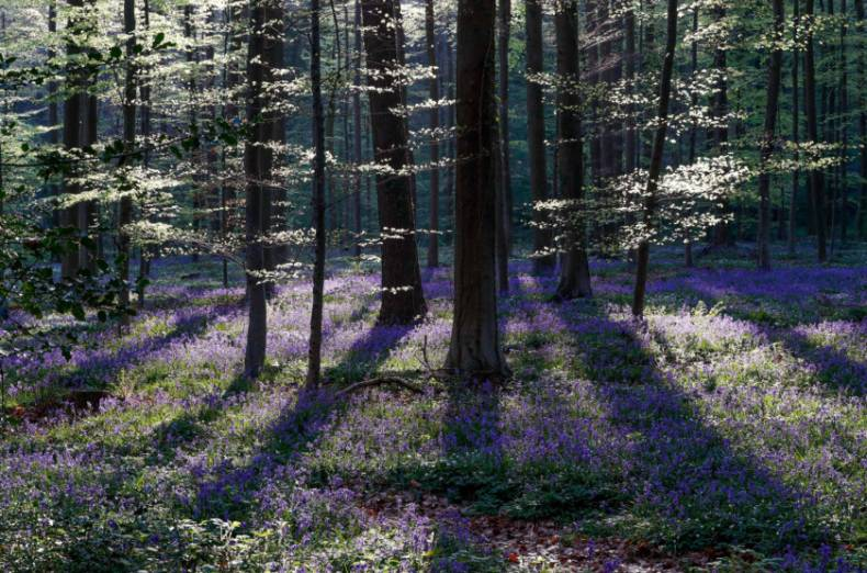 copy-of-2018-04-20t100500z-217115603-rc1e9a9d2780-rtrmadp-3-belgium-forest-bluebells