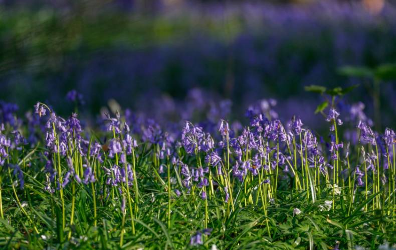 copy-of-2018-04-20t092606z-432143461-rc1fb897e090-rtrmadp-3-belgium-forest-bluebells