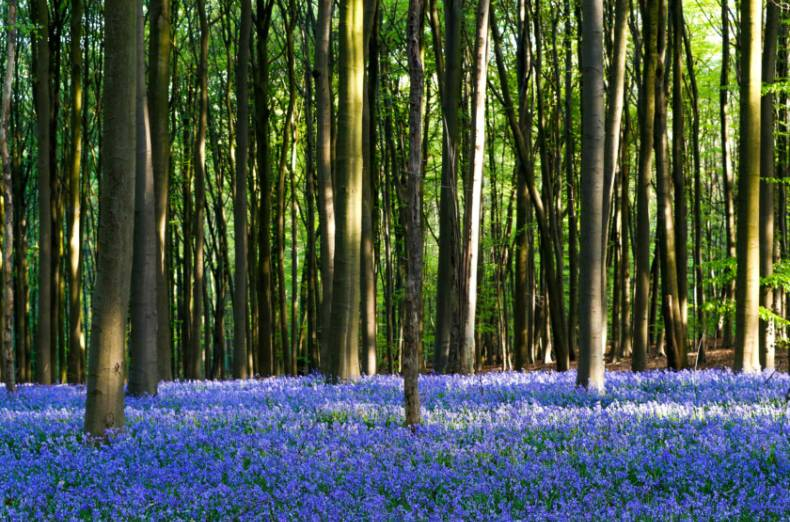 copy-of-2018-04-20t092422z-1238299494-rc18d71d5780-rtrmadp-3-belgium-forest-bluebells