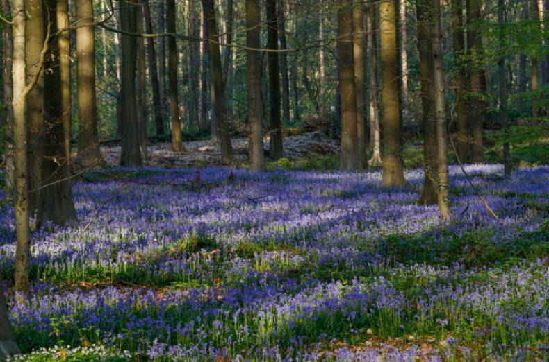 copy-of-2018-04-20t092632z-301306966-rc1bb08c02a0-rtrmadp-3-belgium-forest-bluebells