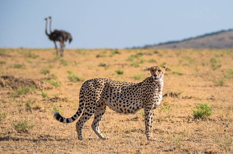 the-cheetah-is-the-fastest-animal-on-land-with-speeds-reaching-up-to-120-km-h