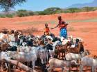 Pastoralists herd sheep and goats in Isinya, Kenya. Cattle populations in semi-arid parts of Kenya have decreased by 26 per cent in the past 40 years, as per some studies.
