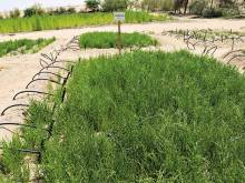 Breakthrough in Salicornia's potential