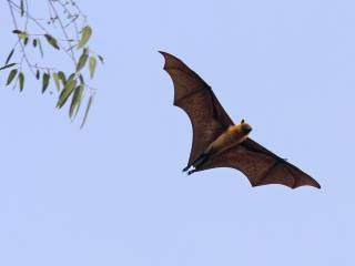 Nipah: Why aren't the bats getting sick?