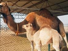 Meet 'Victory': Camel calf from frozen embryo