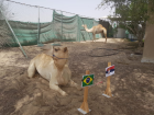 Behind the scenes with World Cup camel Shaheen
