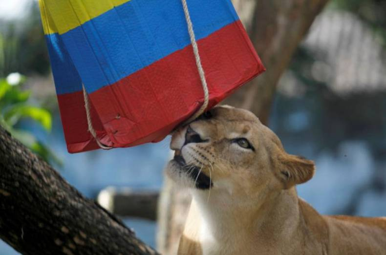 lioness-valentina-predicts-the-result-of-the-match-between-colombia-and-japan
