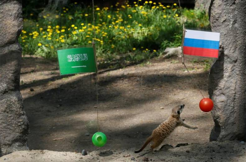 a-meerkat-predicts-the-results-of-the-match-between-russia-and-saudi-arabia