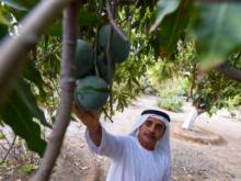 Mangoes find a home in Fujairah
