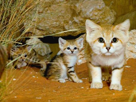 Al Ain Zoo continues Arabian sand cat conservation efforts