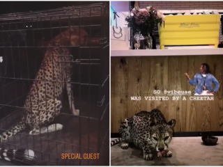 Dubai cafe's cheetah stunt to be probed