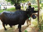 PM House auctions 8 buffaloes in austerity run