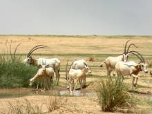Chad welcomes 40 Scimitar-horned Oryx calves