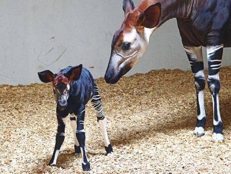 Rare Okapi birth in UAE a ray of hope for this endangered species