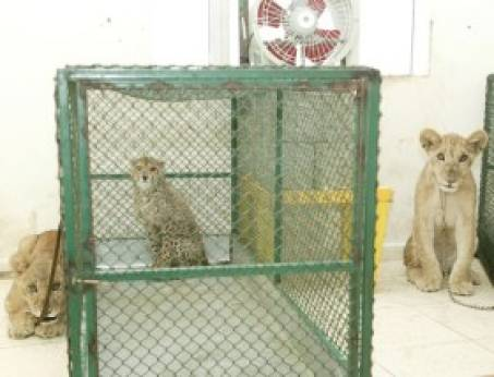 Wild cats in UAE flat