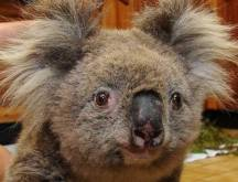 Science may hold cure for threatened koalas